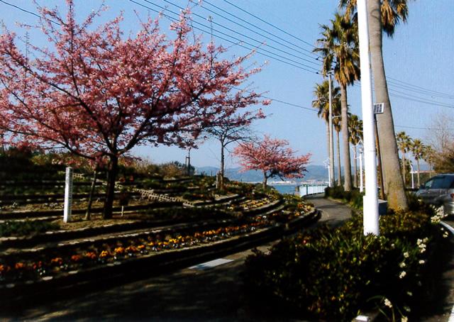 県道笠戸島線の河津桜