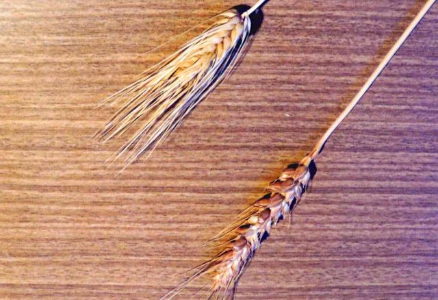 小麦とみ麦