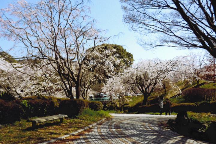 桜の本数は周南一