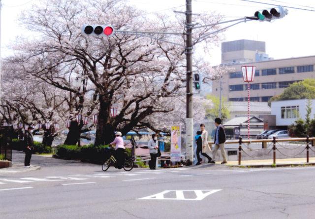 市役所裏の老桜