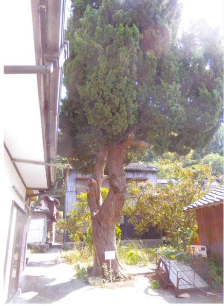 ビヤクシンの木