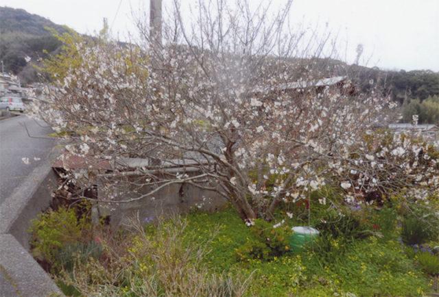 レモン畑の横の山桜 今年は3月13日に満開