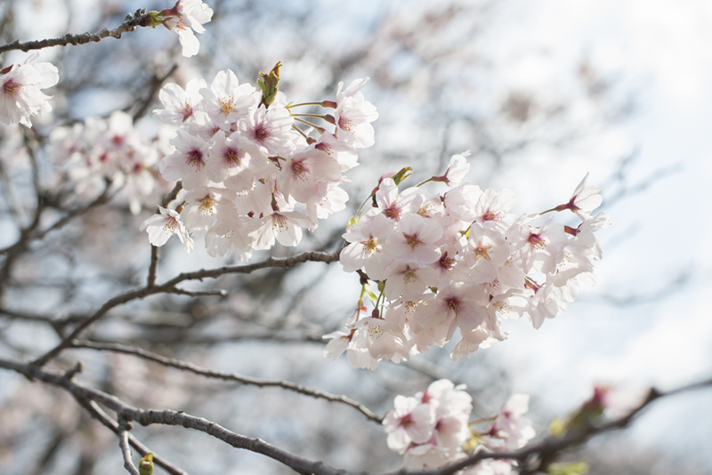 市役所側、切戸川の桜